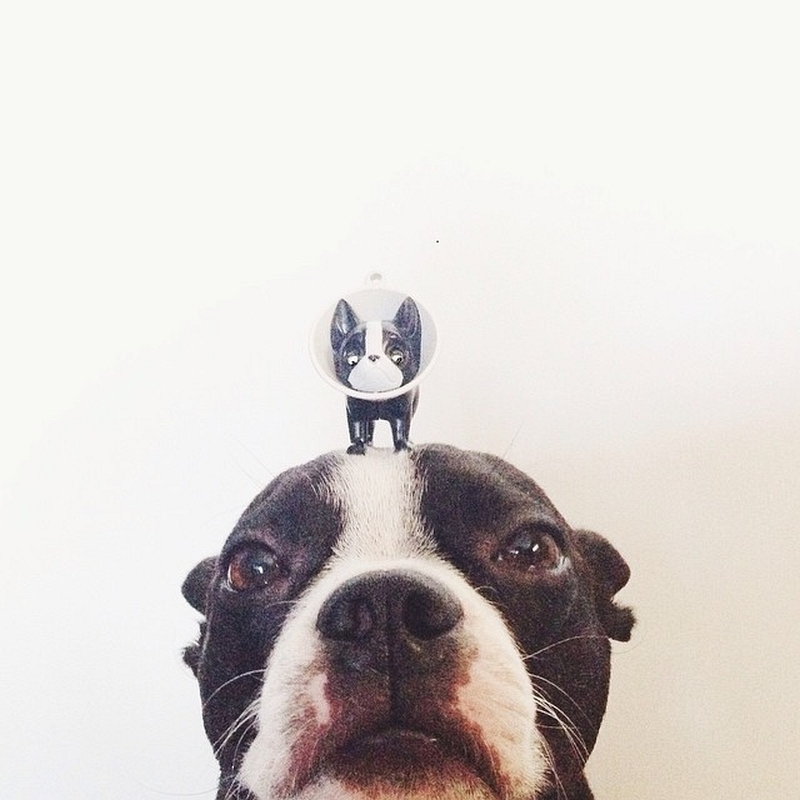 Cute Boston Terrier Poses for His Fans