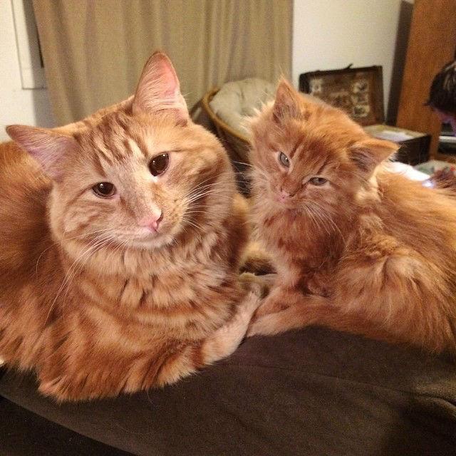 ginger-cat009