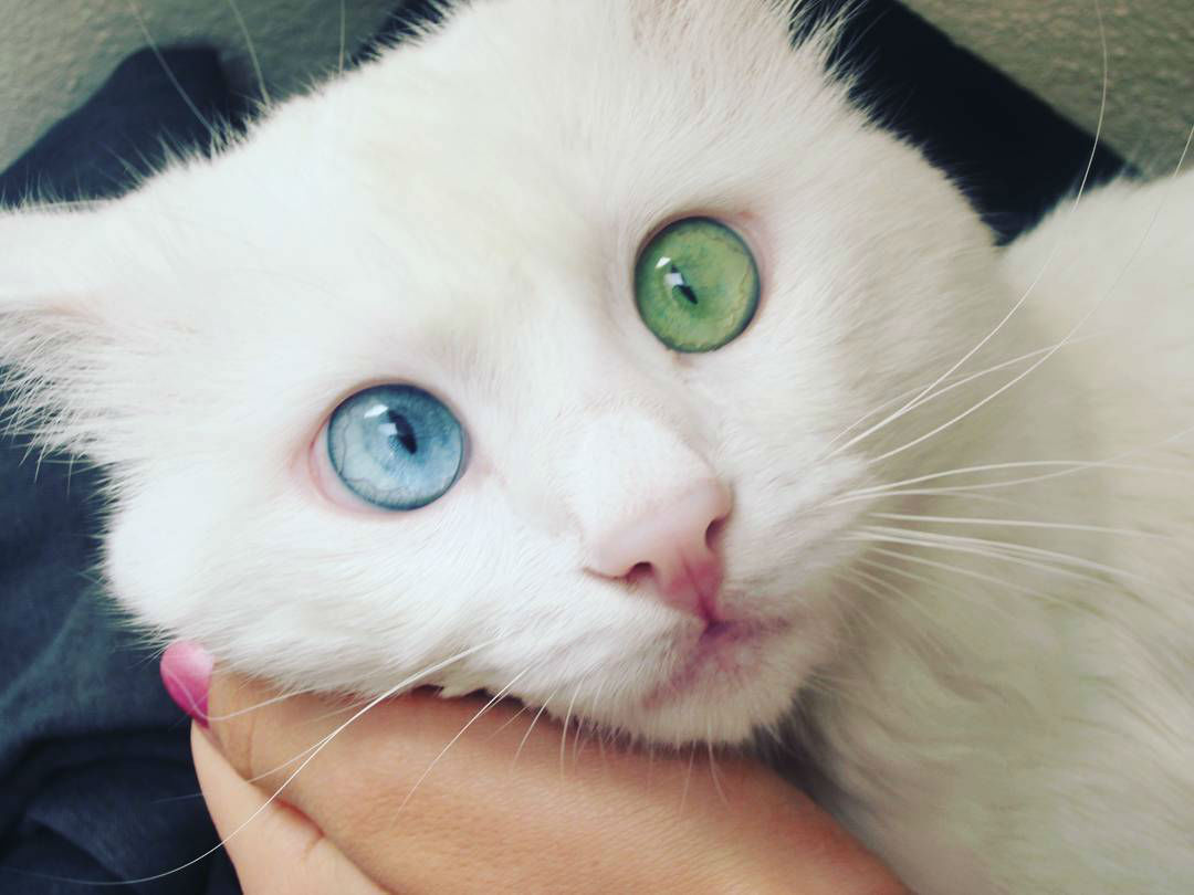 Stunning Cat Has the Most Beautiful and Unique Eyes Youll Ever See
