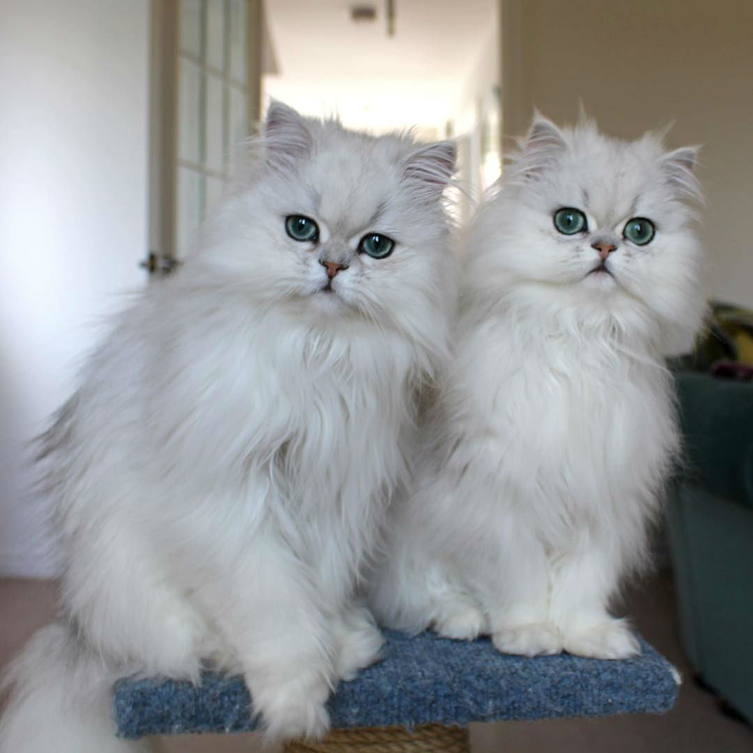 Milk and Oreo are Two Absolutely Adorable Chinchilla Persian Twin Sisters