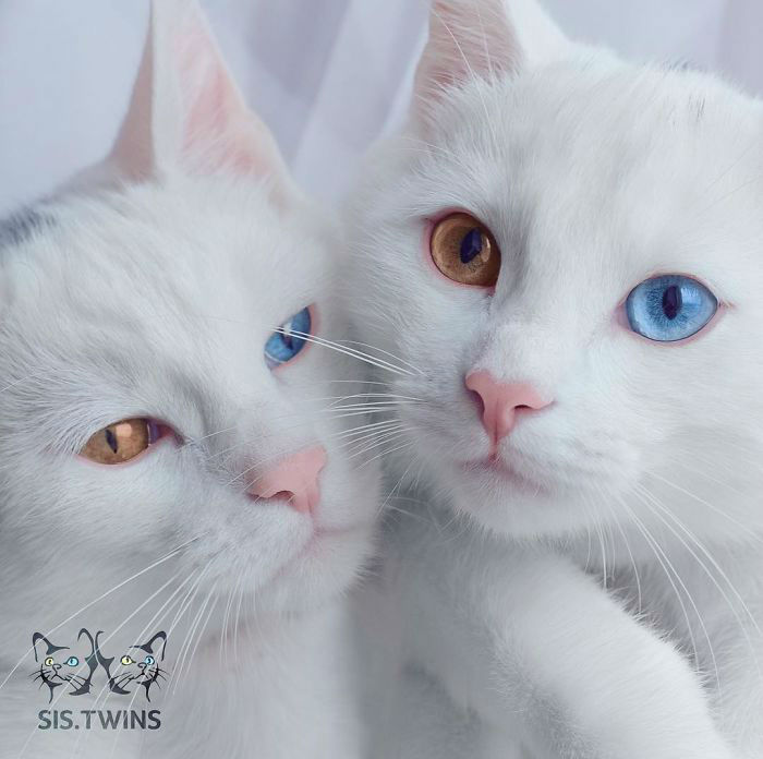 Iriss and Abyss are the Most Beautiful Cat Twins Youll Ever See