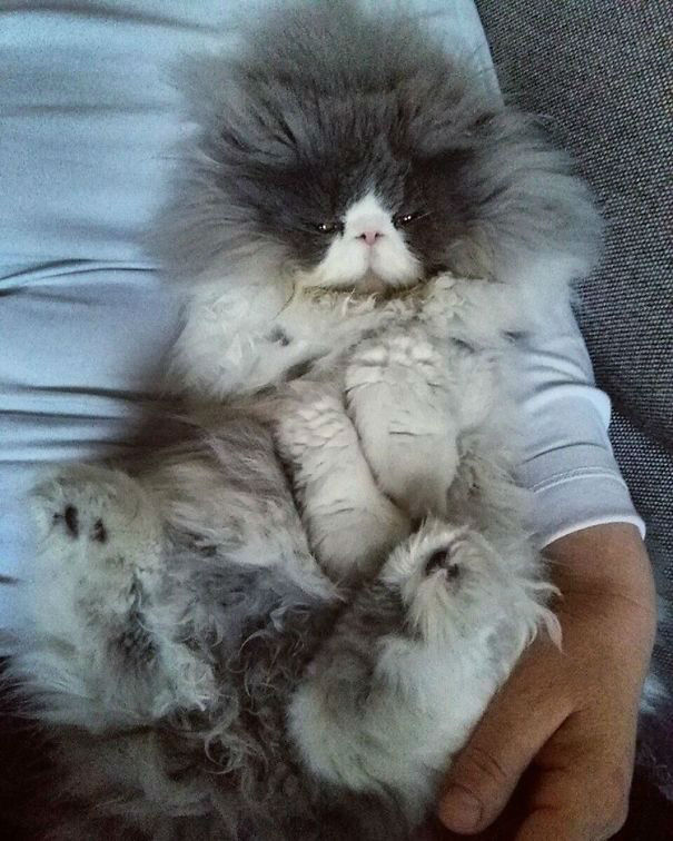 Meet Cezar, a Persian Breed Cat From Serbia With a Ridiculously Long Hair
