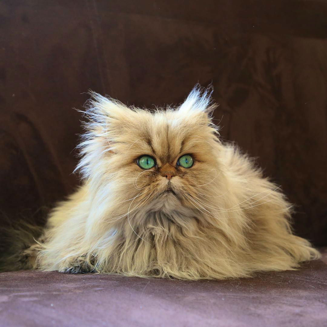 Meet Lilly and Evy, the Adorable Golden Persian Cats with Ocean Blue Eyes