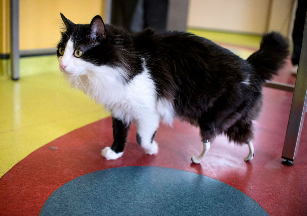 Amputee Cat with 'Bionic' Legs Walks Again
