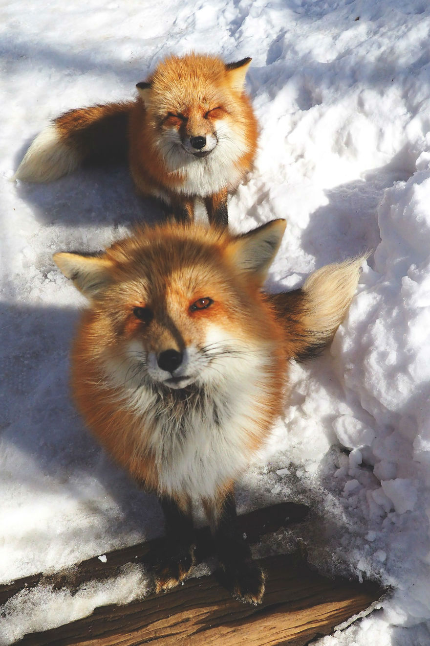 Fox Village in Japan   Fluffiest Place on Earth