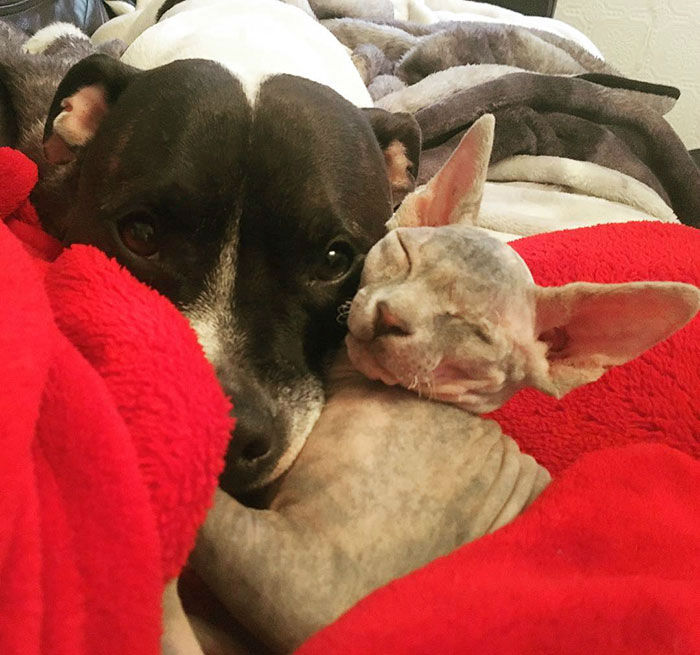Adopted One Eyed Cat Called Stitch and a Bull Terrier Became Best Friends