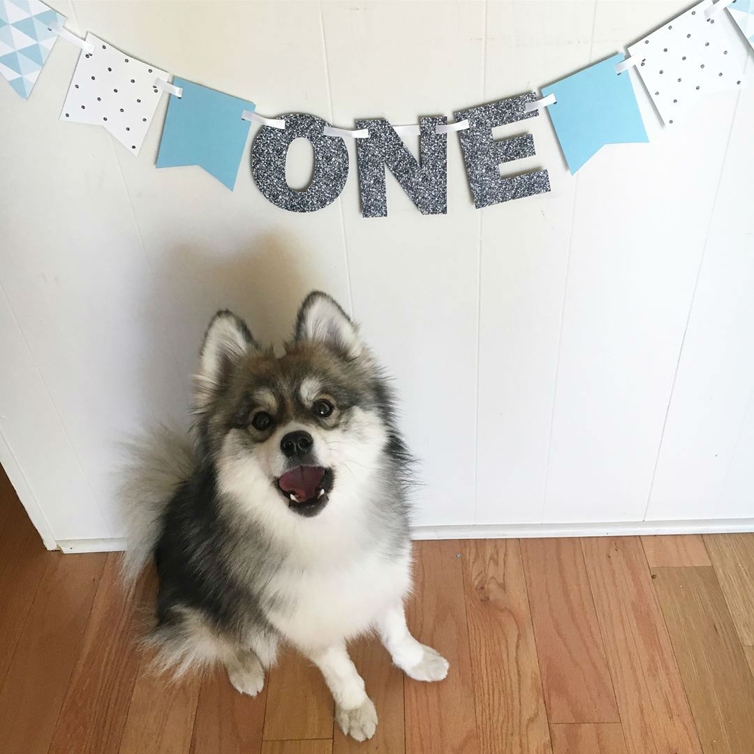 Meet Norman, Husky Pomeranian Puppy Cute Out of This World