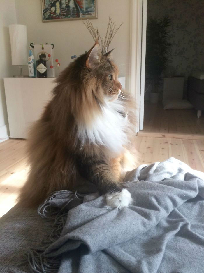The Fluffiest Maine Coon of All
