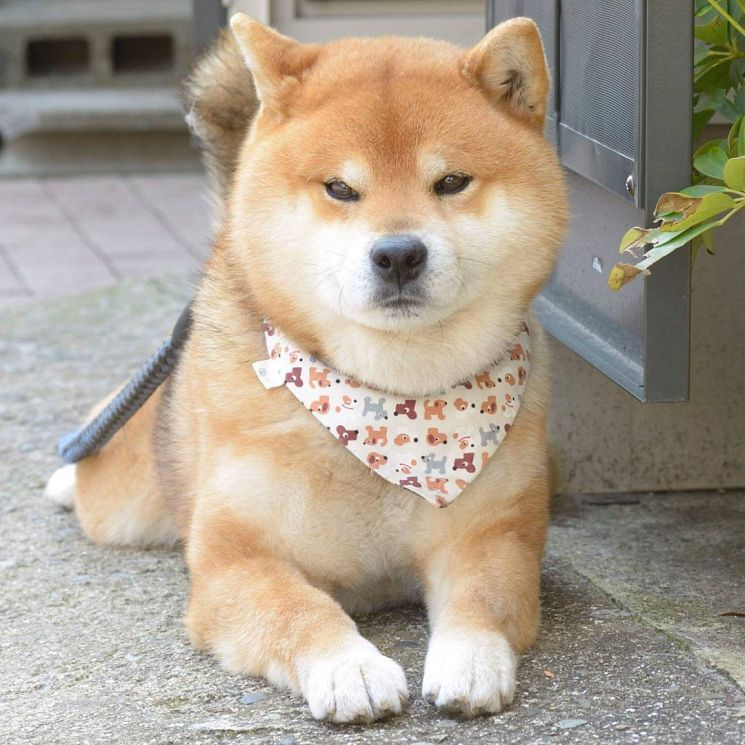 Ryuji is an Adorable Shiba Inu Puppy Whos Taking Over the Instagram