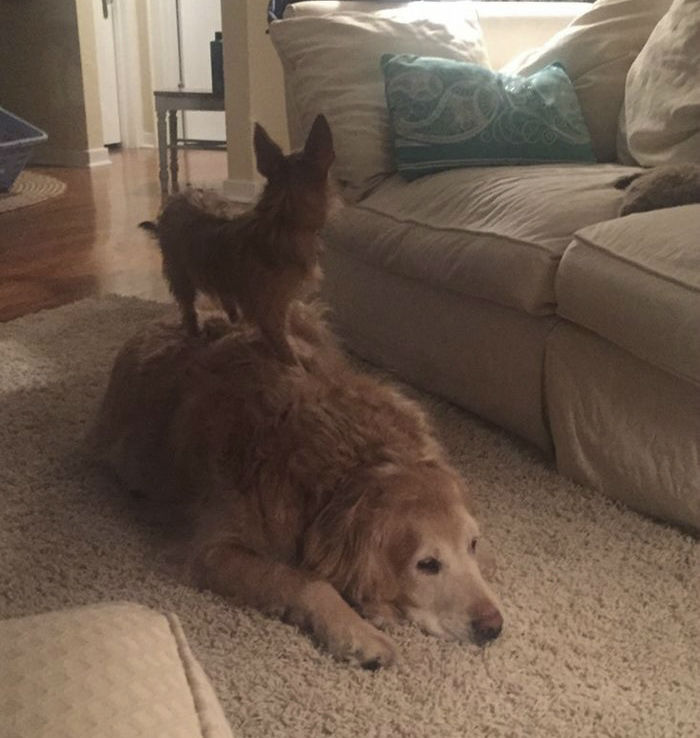 Tiny Dog Uses Her Best Friend to Do Everything