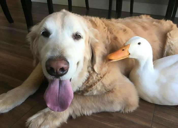 Barclay the Golden Retriever and Rudy the Duck are the Best Dynamic Duo Youll Ever See