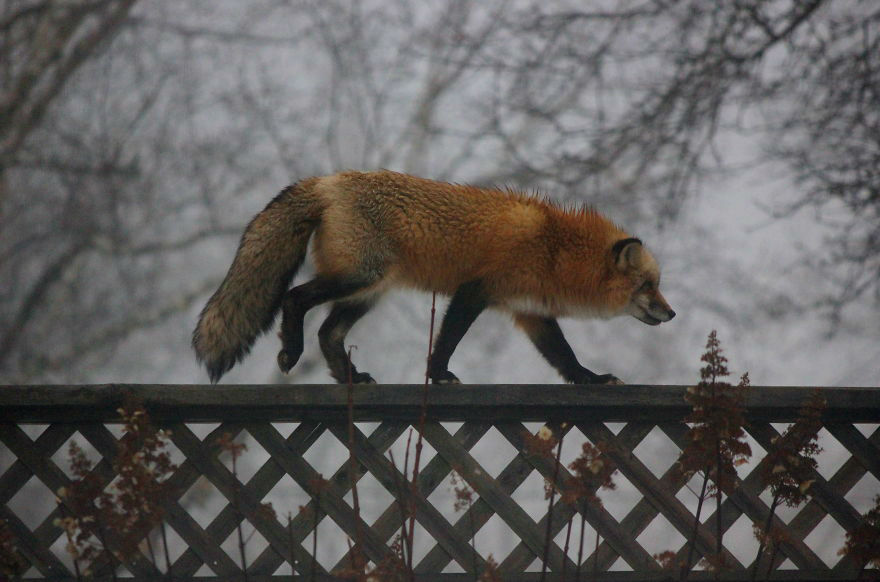Meet Zorro the Fox, Beloved Friend of Nature Photographer from Prince Edward Island