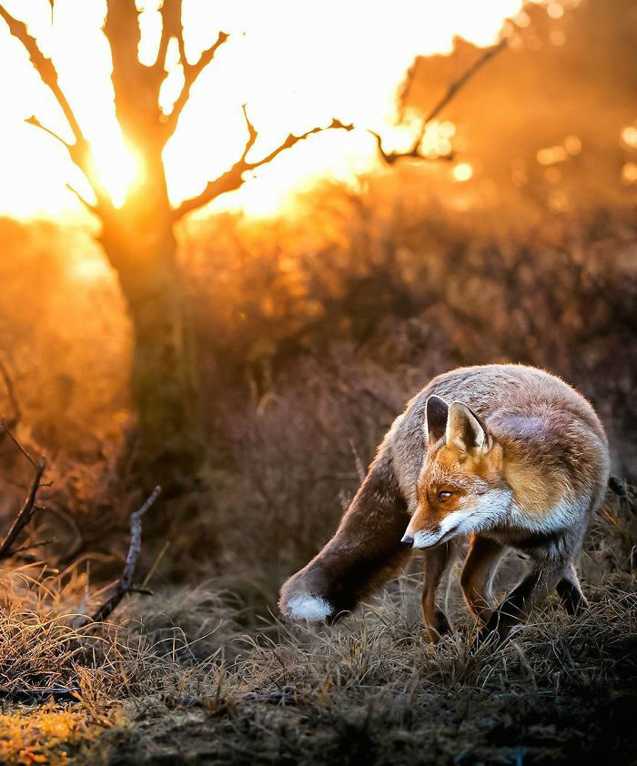 Fox Cubs Photographed in Forests of Finland