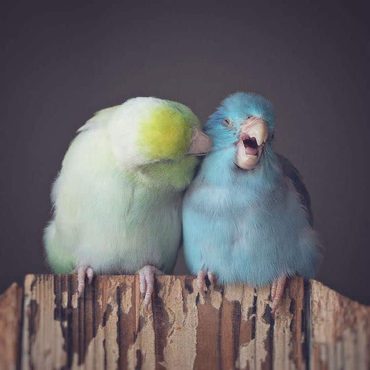 Beautiful Pacific Parrotlets and Their Loving Bond Captured by Photographer Rupa Sutton