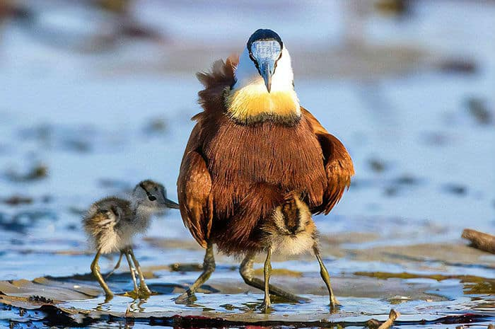 Dad Bird Carries his Offsprings Tucked Under his Wings and Looks Like he has 10 legs