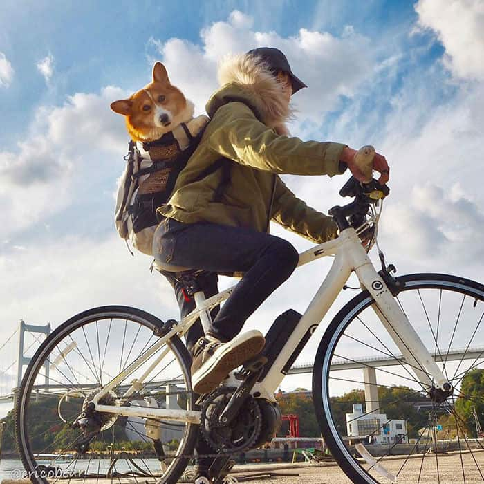Peach Butt Corgi Rides Bikes on the Back of His Owner