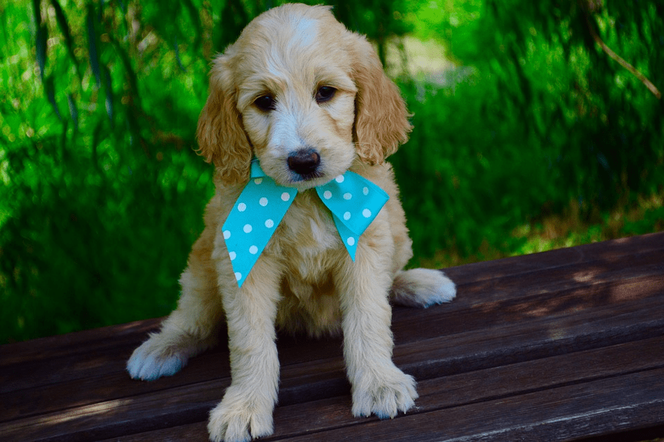 What You Need To Know About Goldendoodles