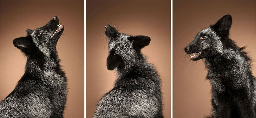 Pet Photographer and Her Love at First Shoot with Foxes