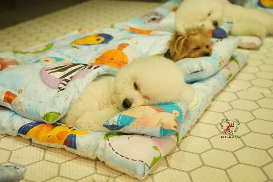 Puppy Daycare Center That Has Its Puppies Sleep All at the Same Time