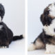 Top Places and Where to Buy a Bernedoodle?